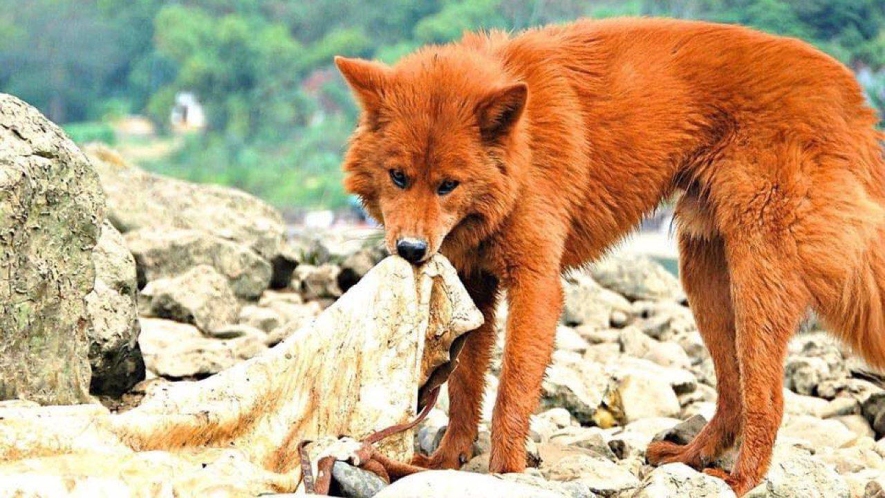 Tứ Đại Danh Khuyển Việt Nam: 4 giống chó thuần Việt quý hiếm mà ít người biết - Tứ Đại Danh Khuyển